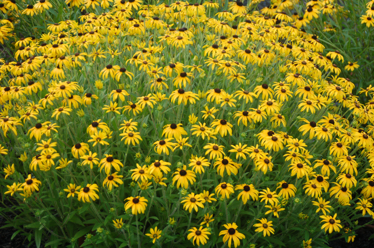 'American Gold Rush' black-eyed Susan (credit: Intrinsic Perennial Gardens)