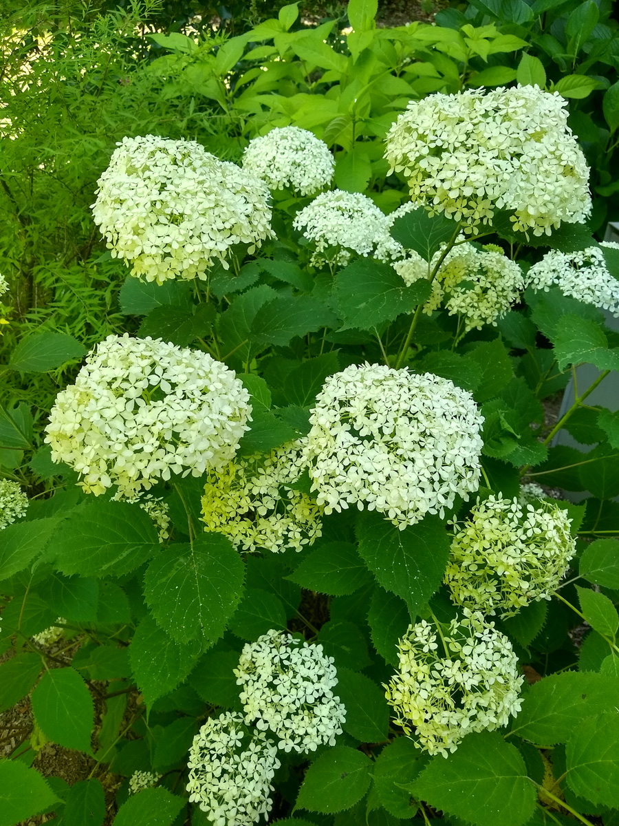 Invincibelle Wee White® smooth hydrangea