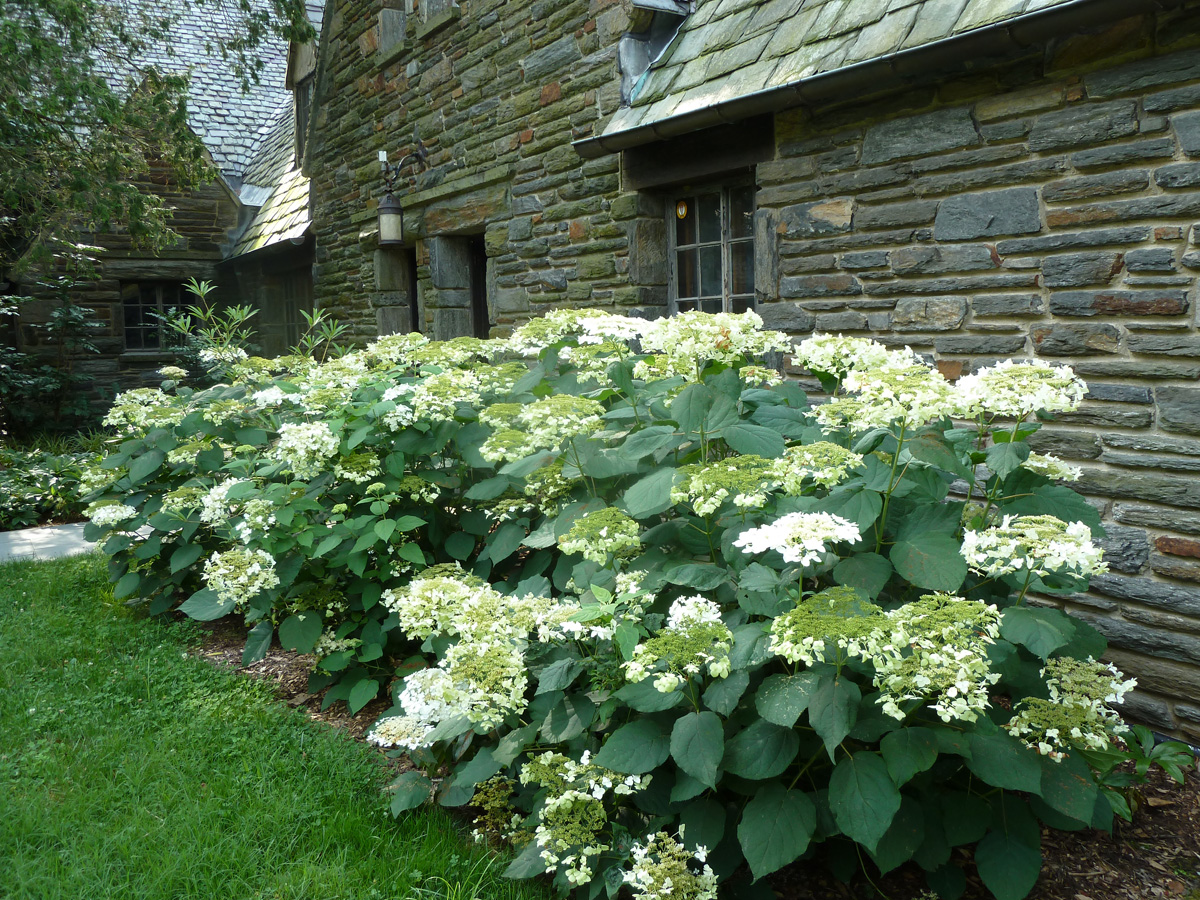 'Haas' Halo' smooth hydrangea (credit: Plants Nouveau)