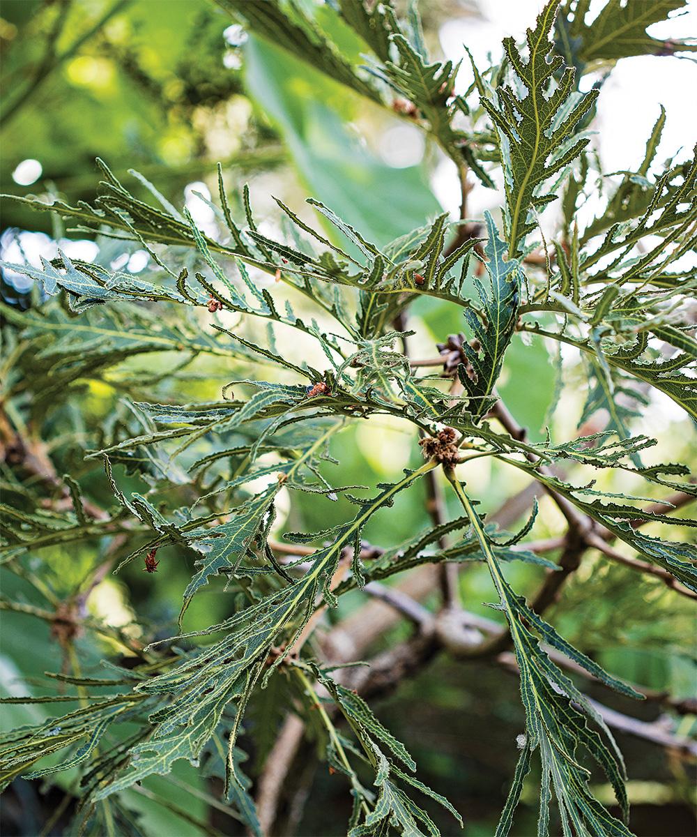 Japanese emperor oak
