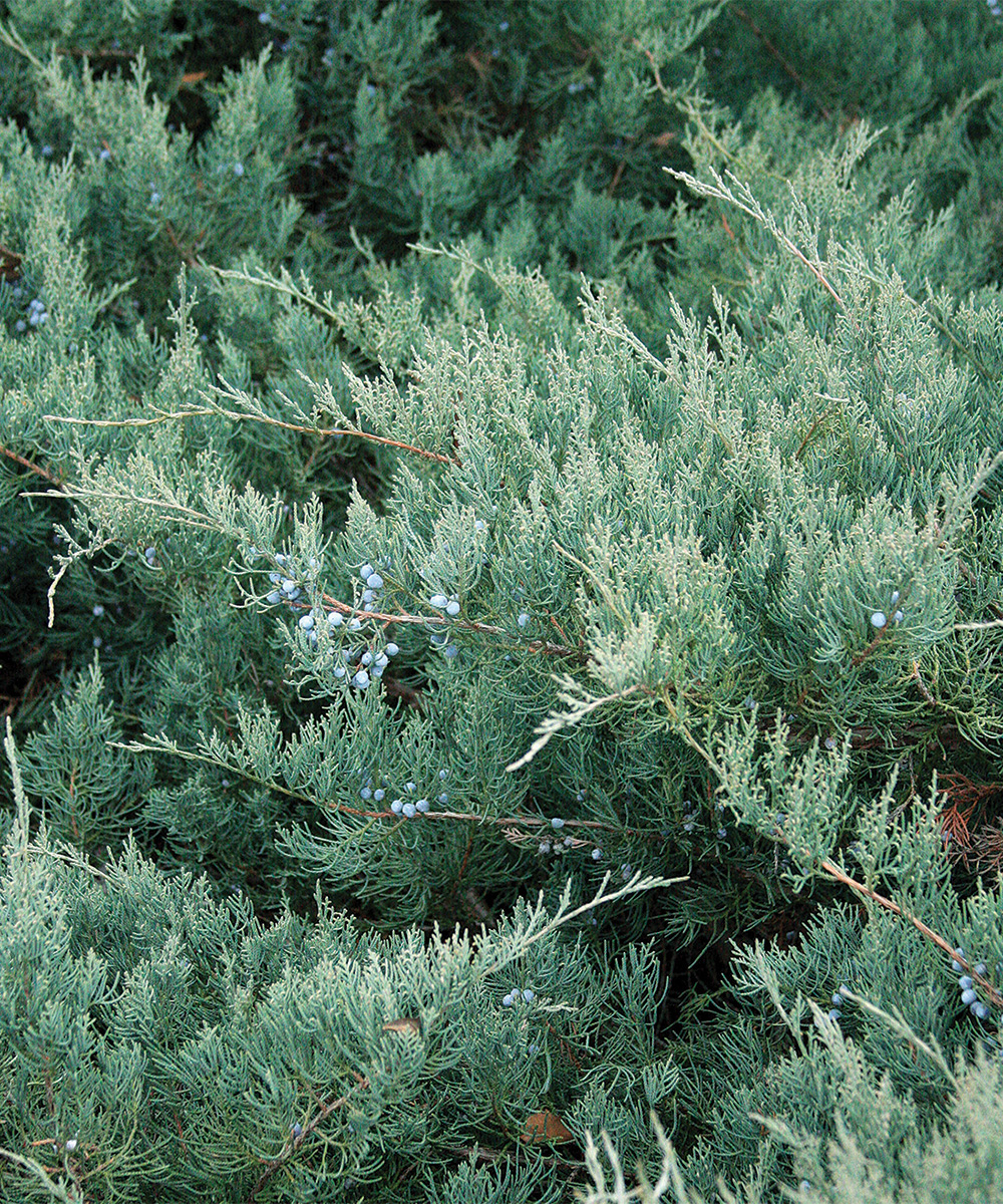 Grey Owl Red Cedar