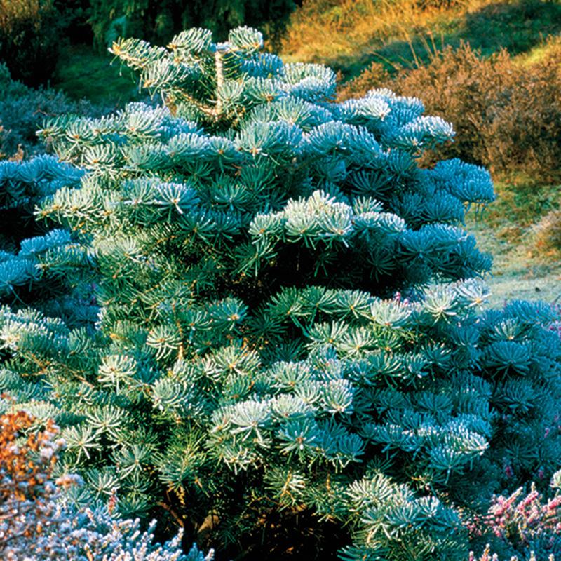 Dwarf white fir