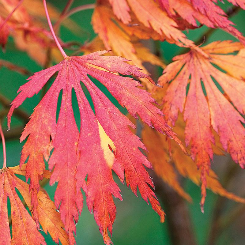 Omurayama Japanese maple