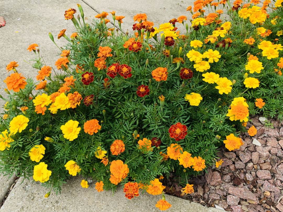 different color marigolds