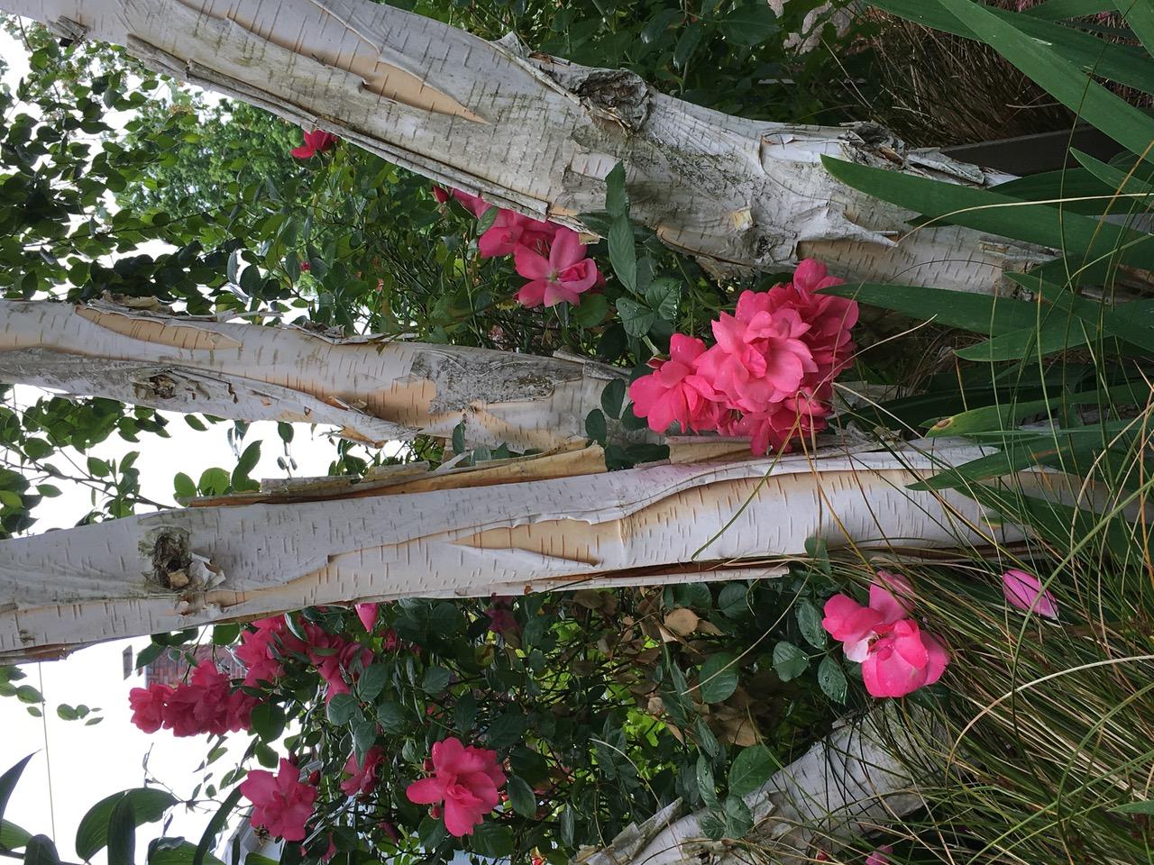 Lady Elsie May rose