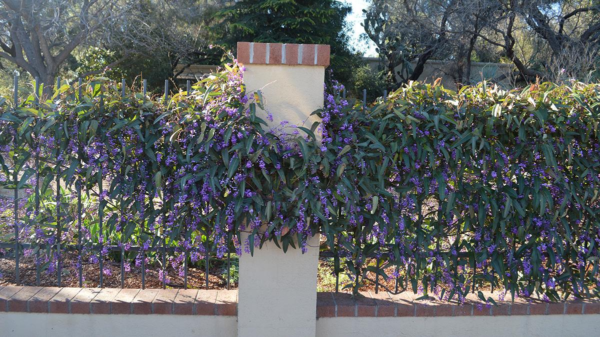 Happy Wanderer purple vine lilac