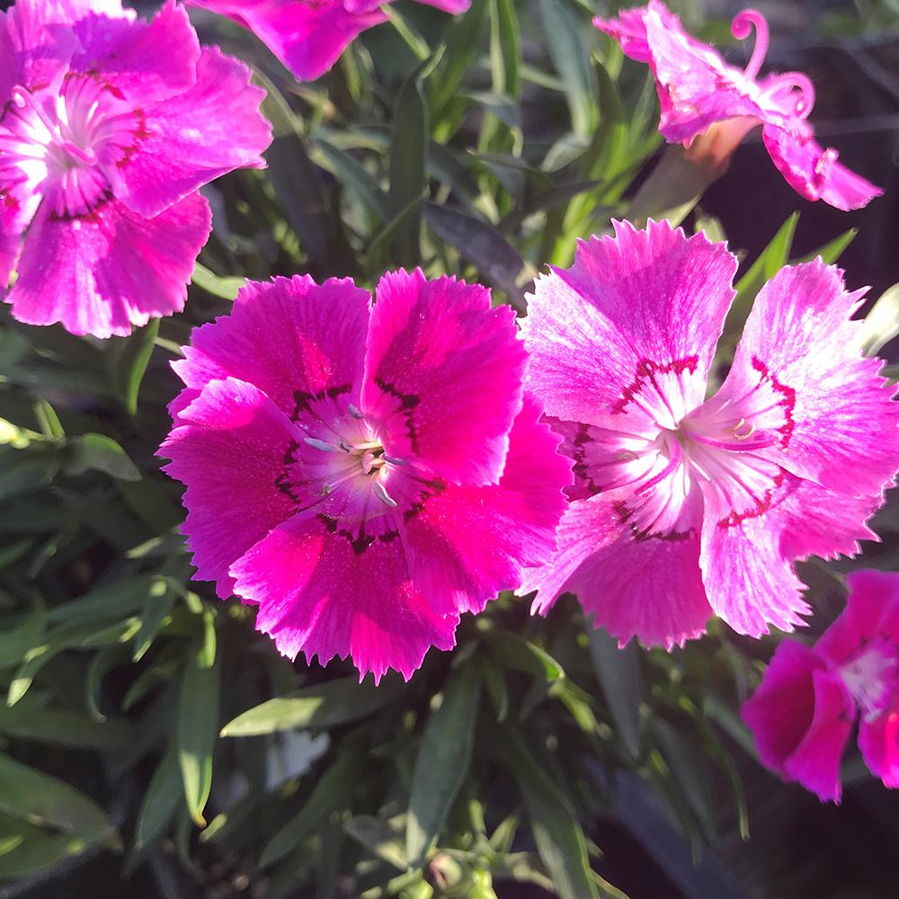 Mountain Frost Rose Bouquet dianthus