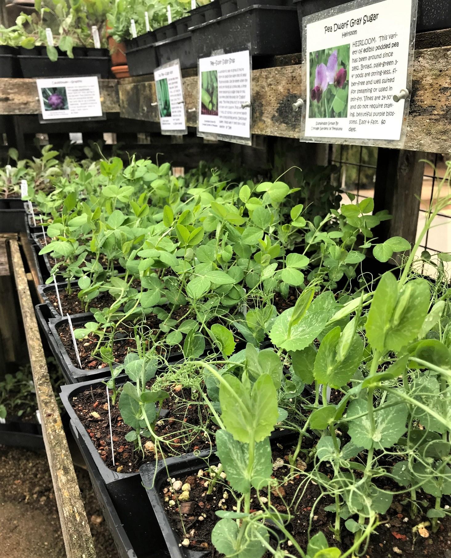 Pea plant transplants on a table