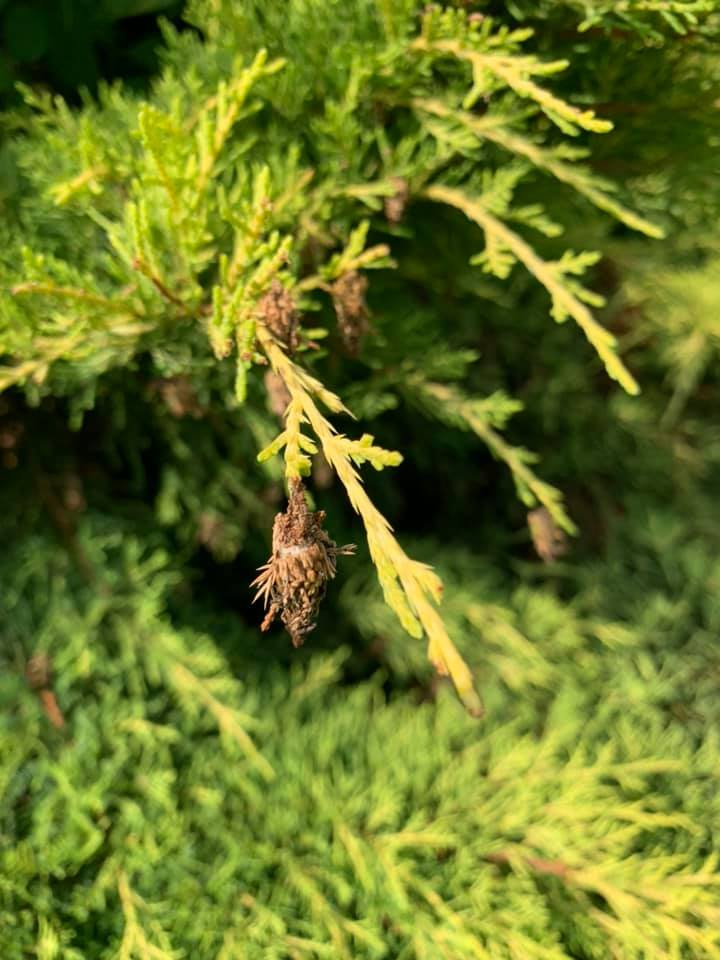 Close up of bagworms on an evergreen tree