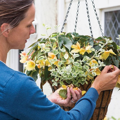 Deadheading Begonia in Hanging basket with Helichrysum