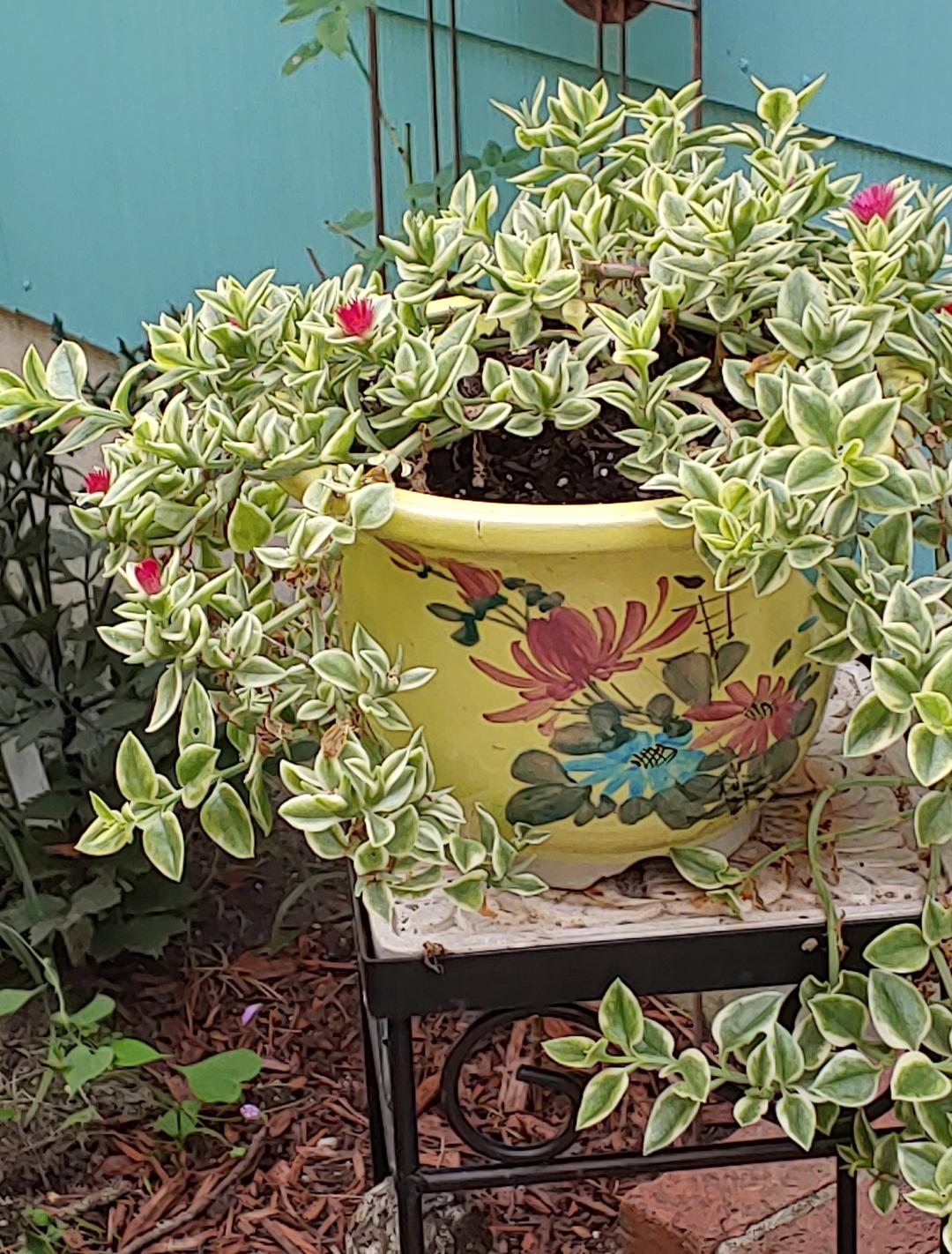 variegated baby sun rose