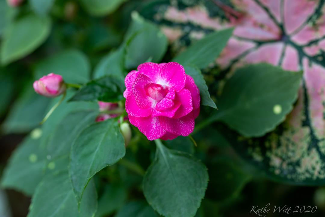 impatiens apple blossom