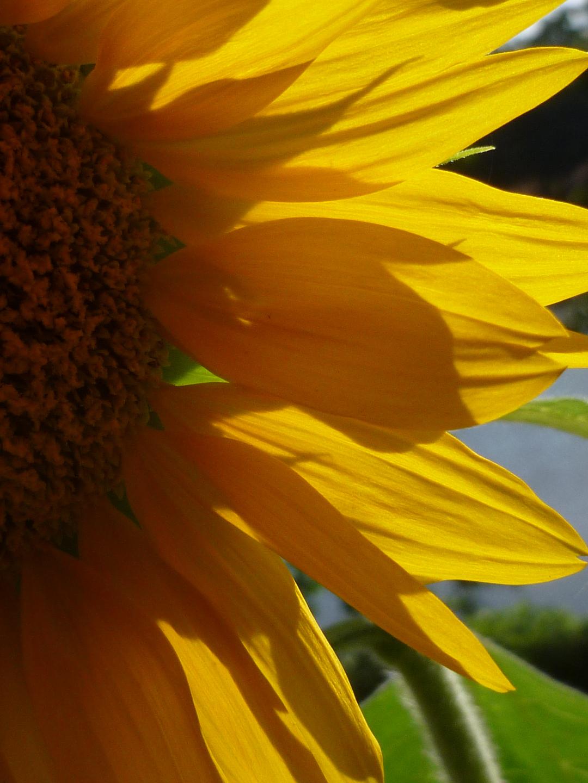 dwarf sunspot sunflower