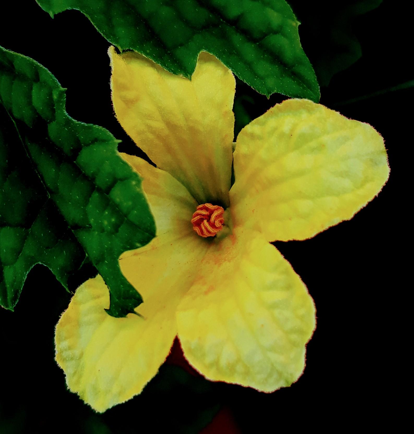 male flower of a bitter gourd