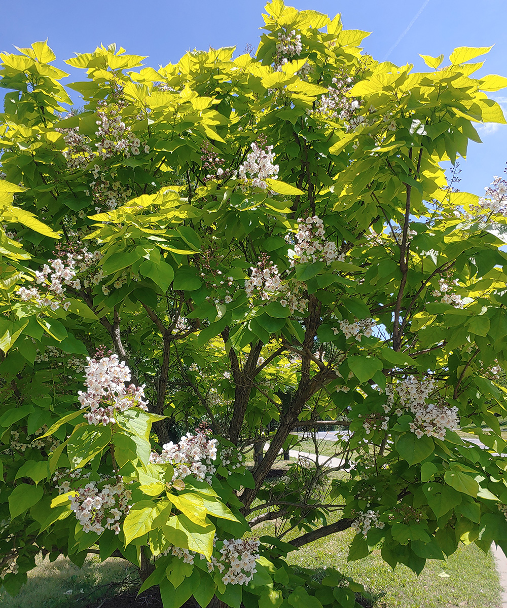 Golden catalpa