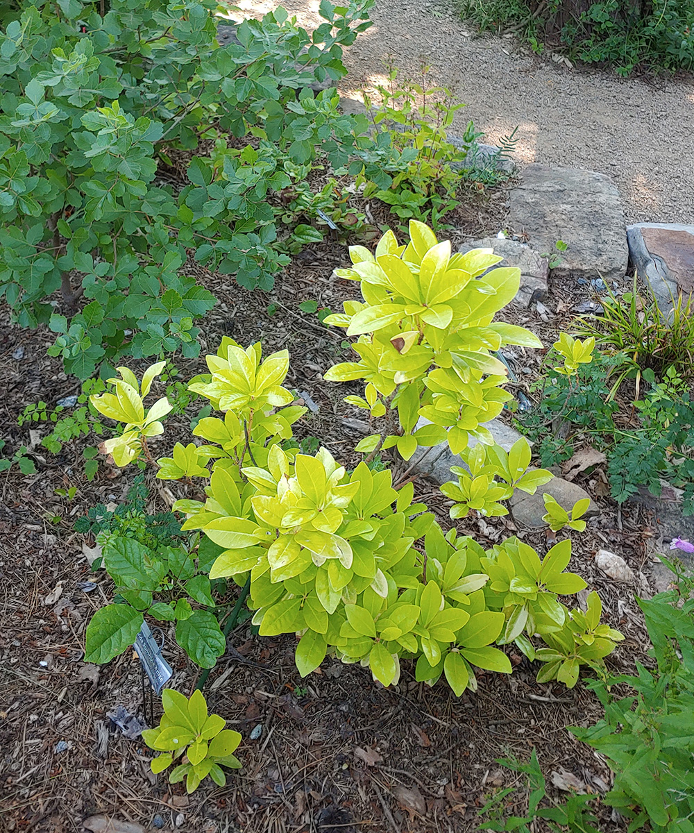Florida Sunshine anise shrub