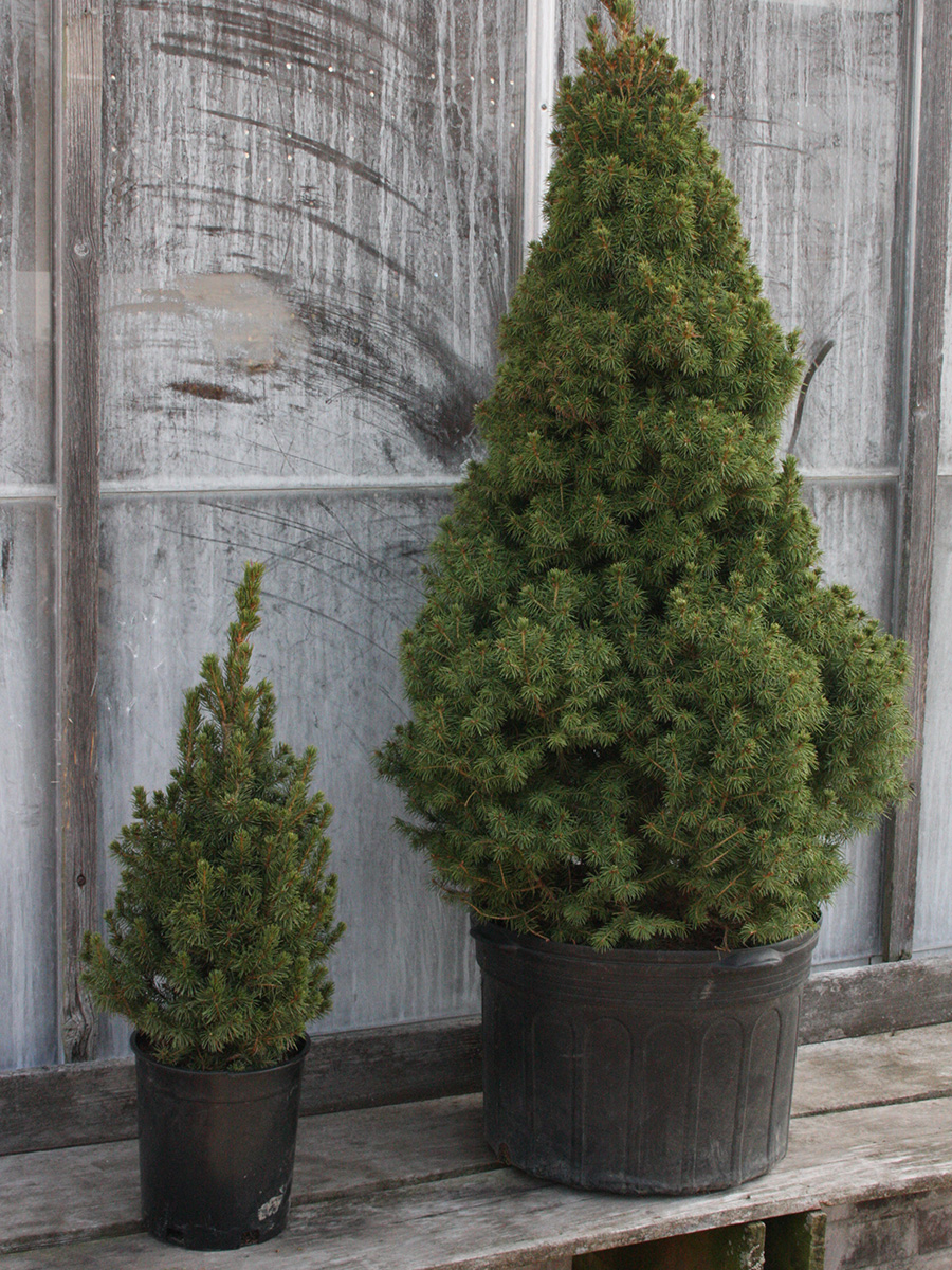 conifers in plastic containers