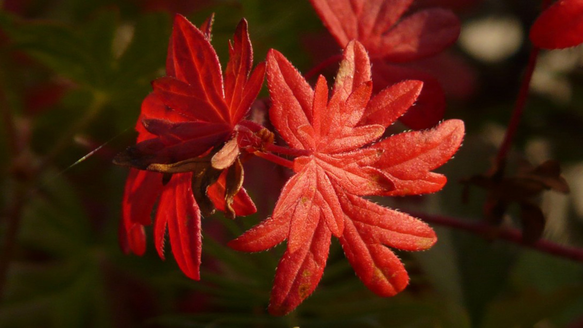 Bloody geranium with red foliage