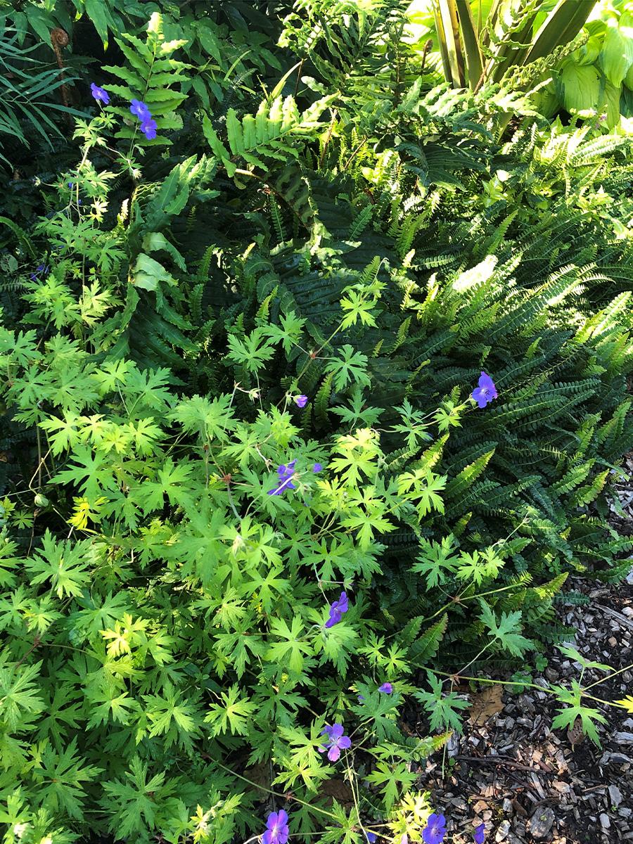Blue Sunrise geranium