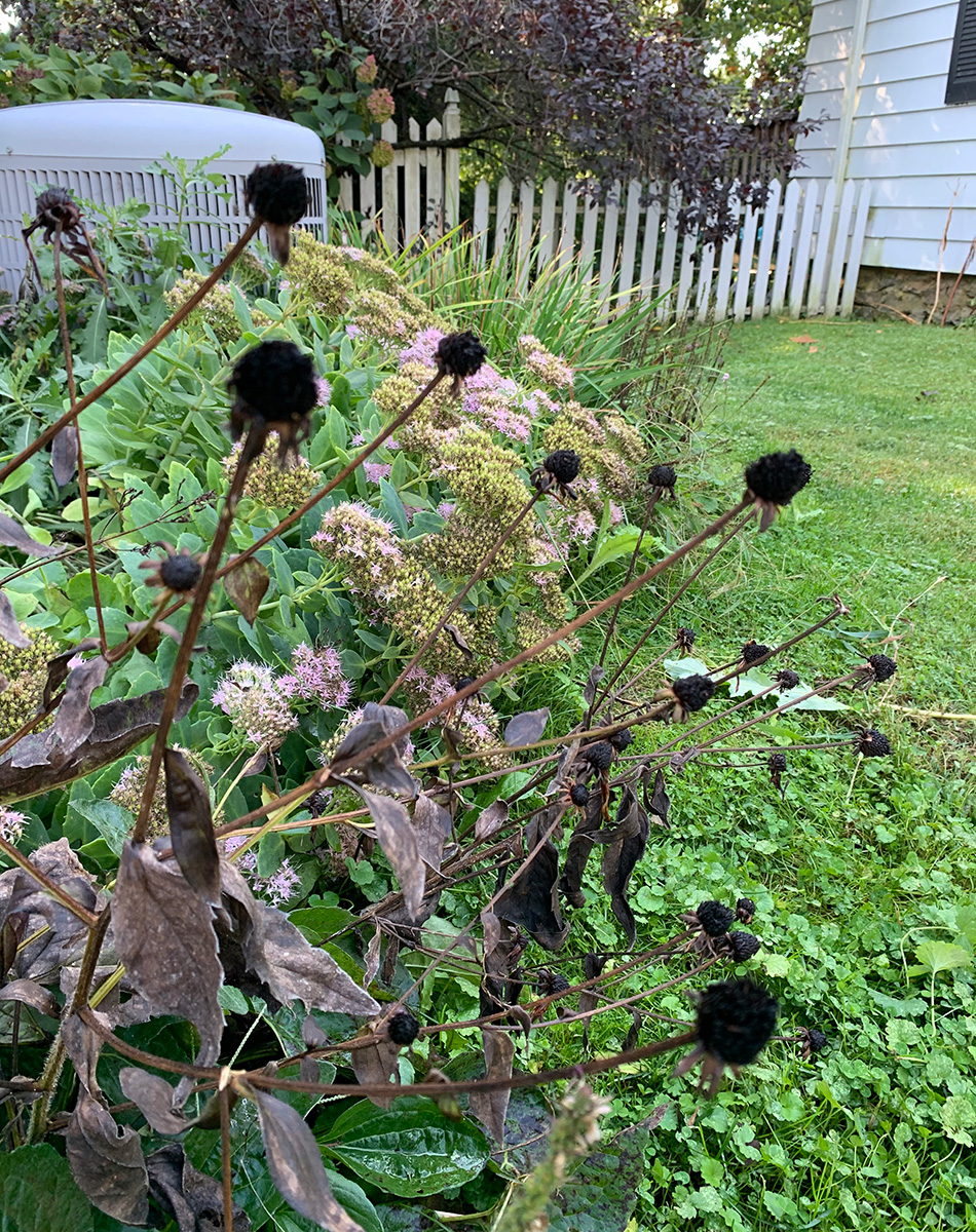black-eyed susan seed heads