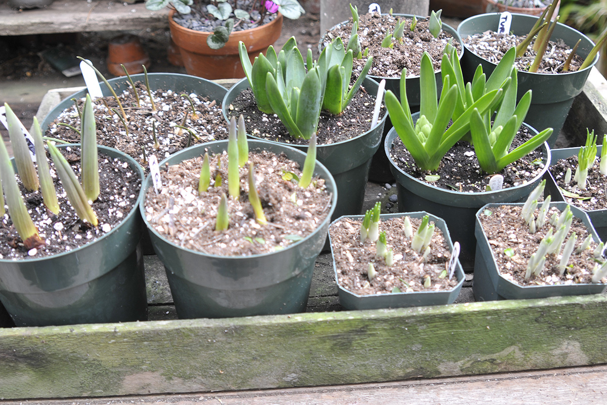forced bulbs ready to bloom