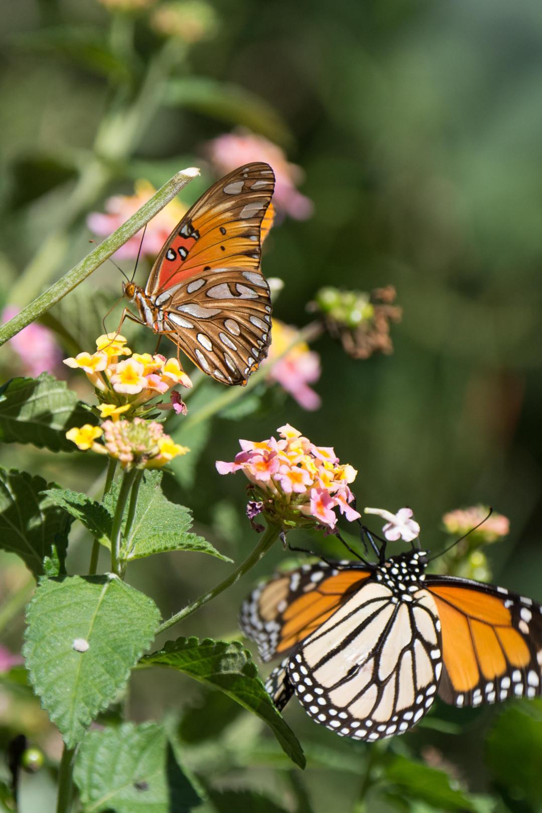 Butterflies on Lantana