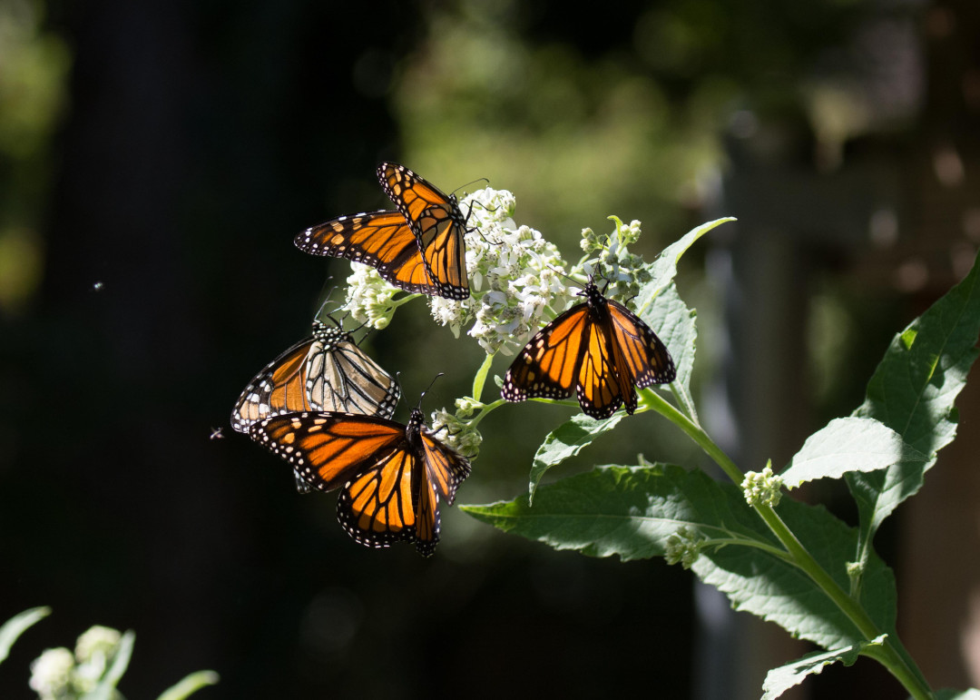 Monarch butterflies sip nectar
