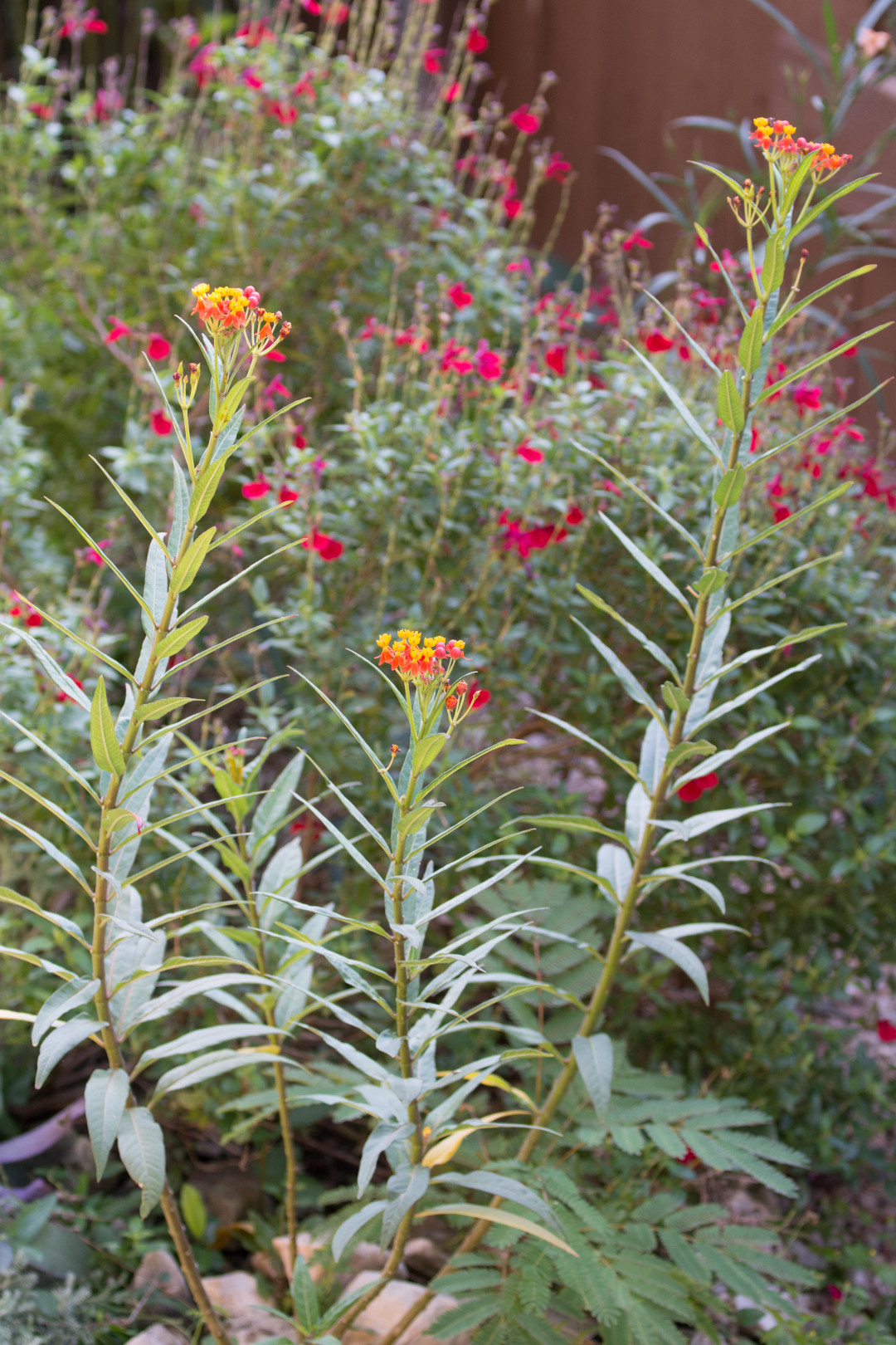 Mexican butterfly herb