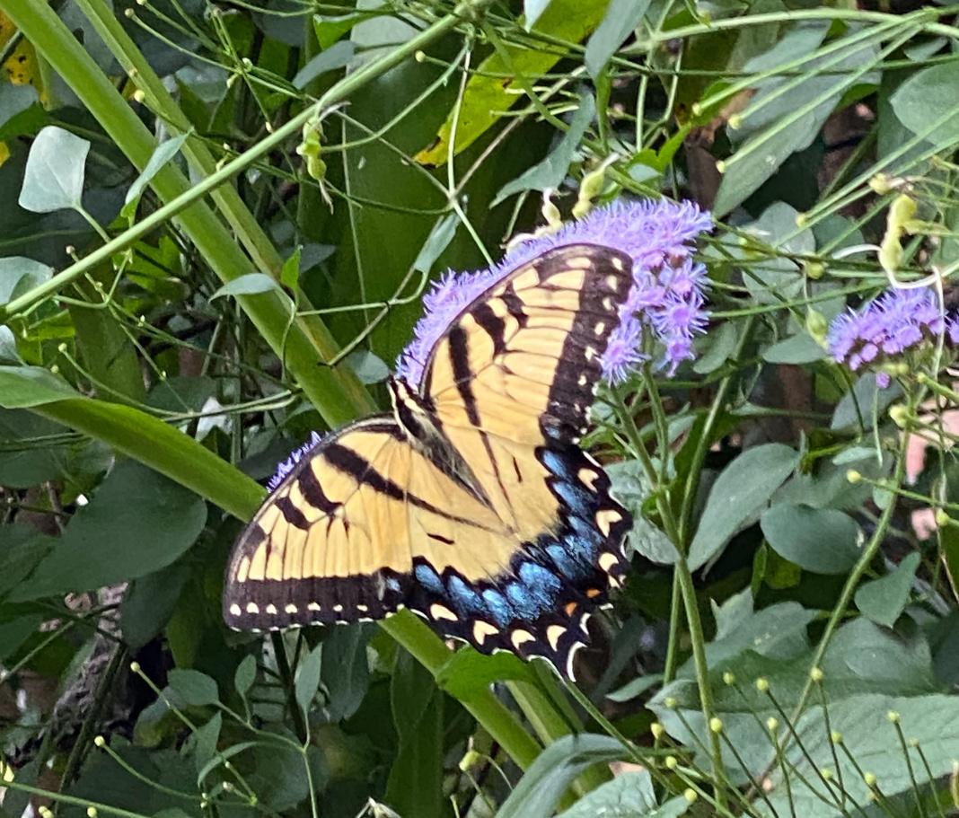 butterfly on blue mistflower