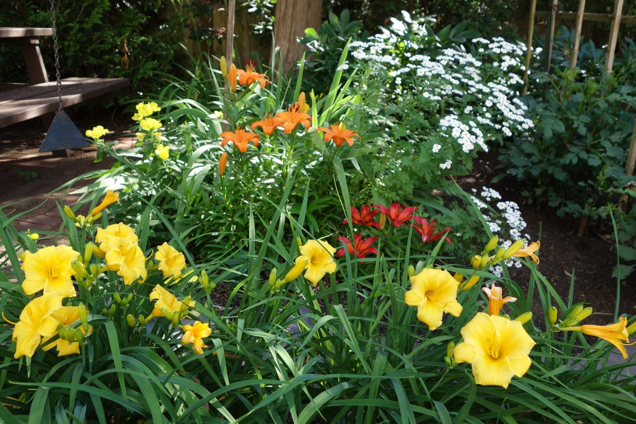 red and orange daylilies