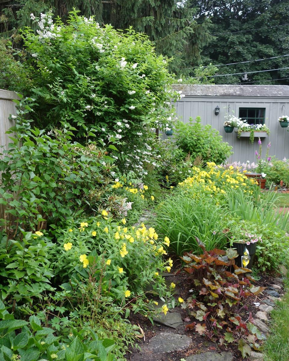 deutzia bushes