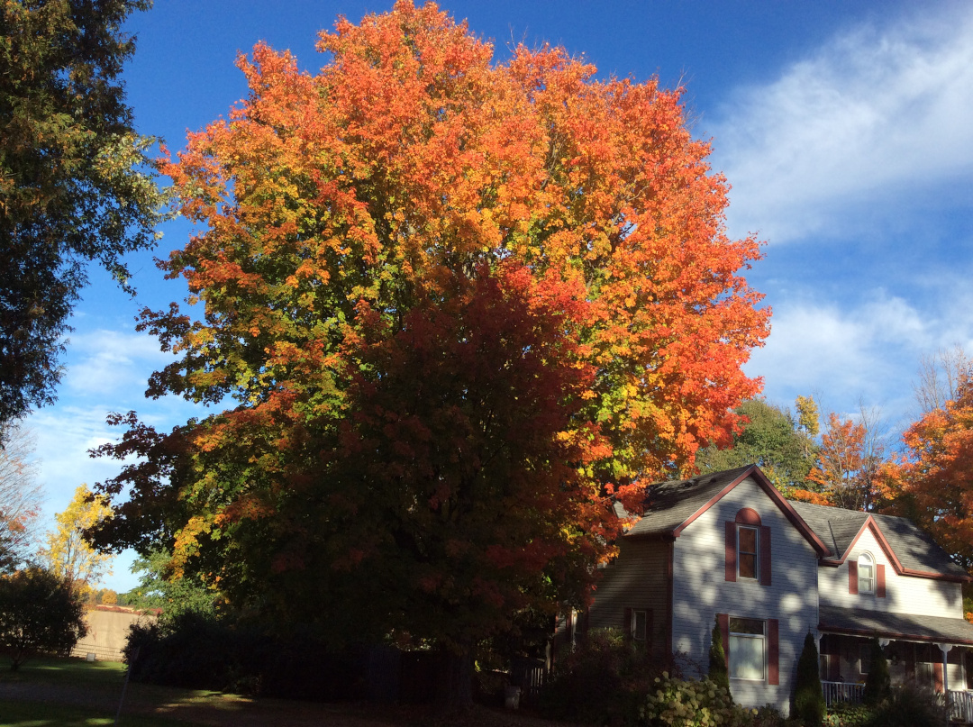 maple with fall foliage