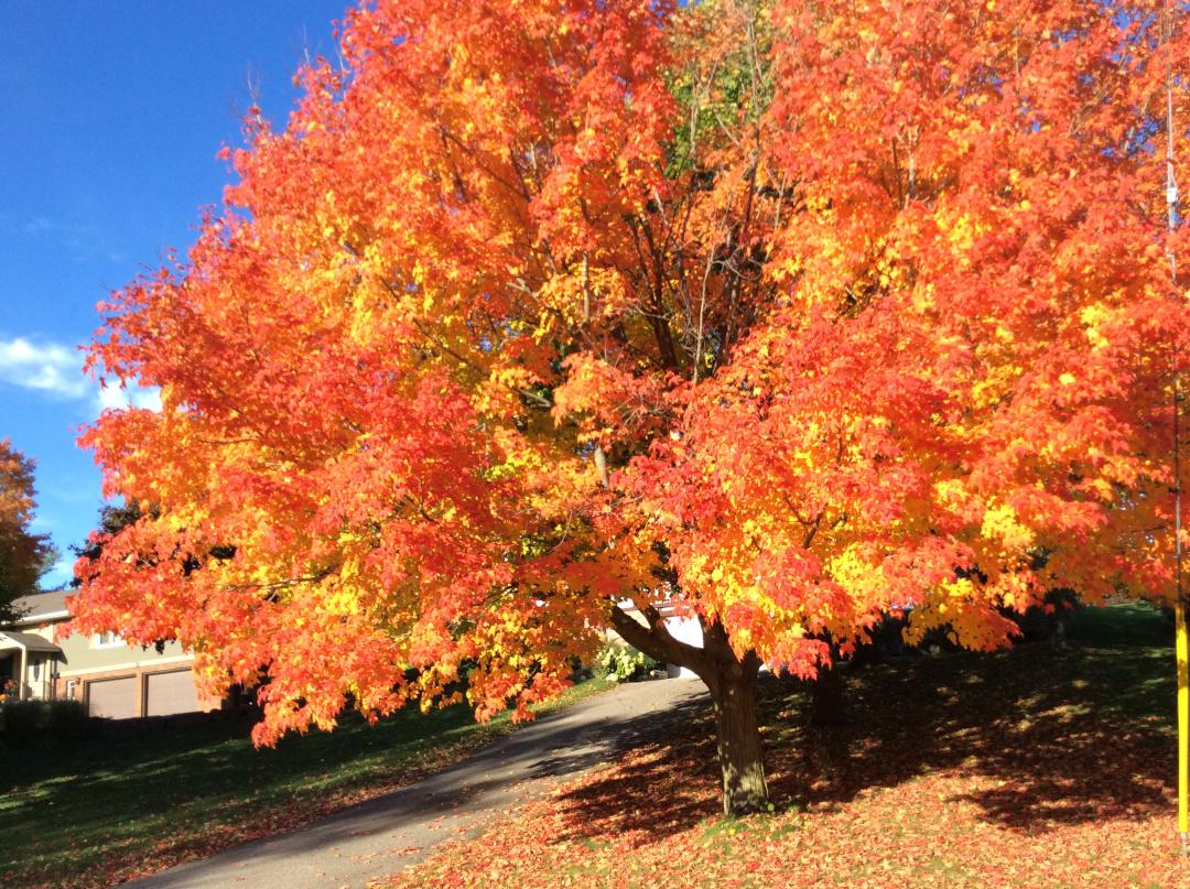 sugar maple with fall foliage
