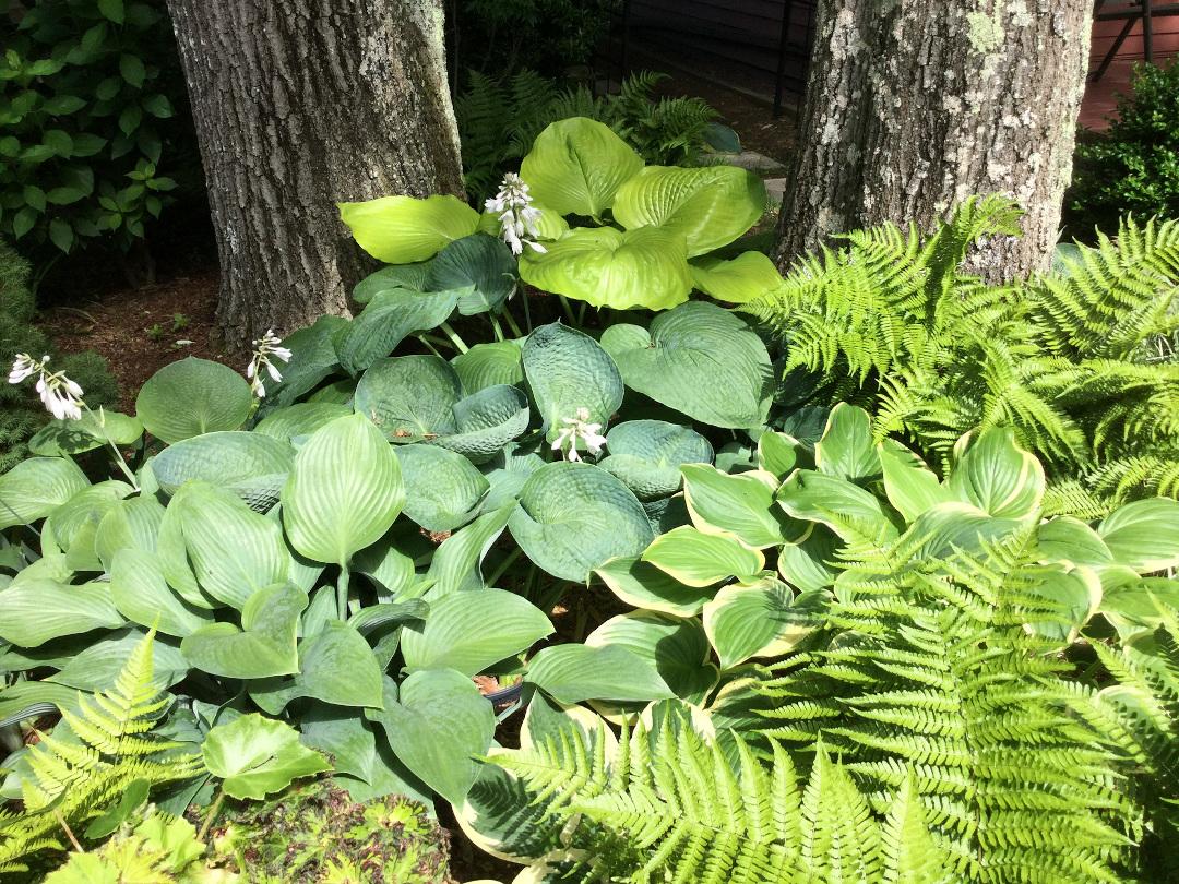 hosta and fern garden bed