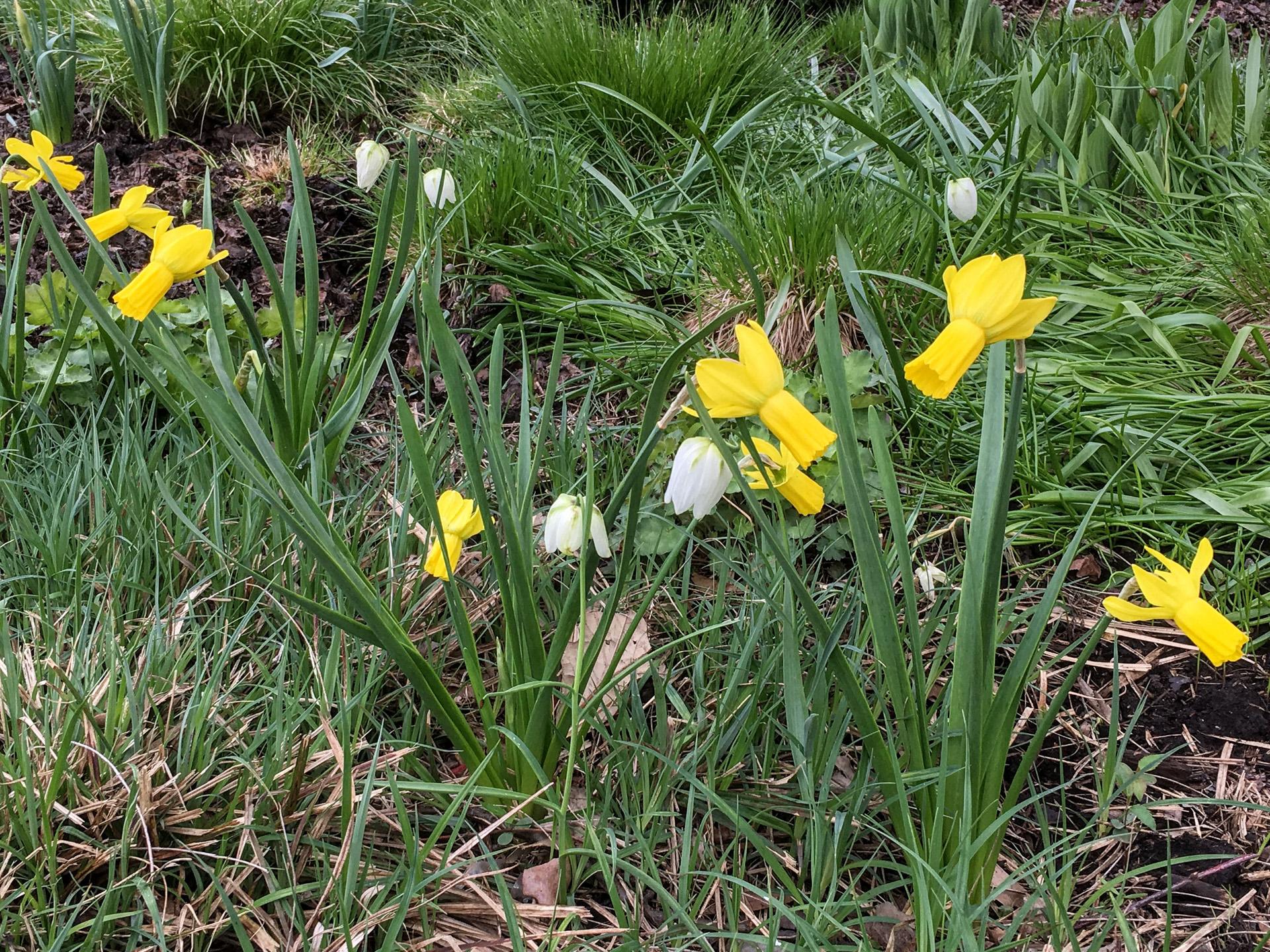 'Rapture' daffodil, small yello flowered daffodil