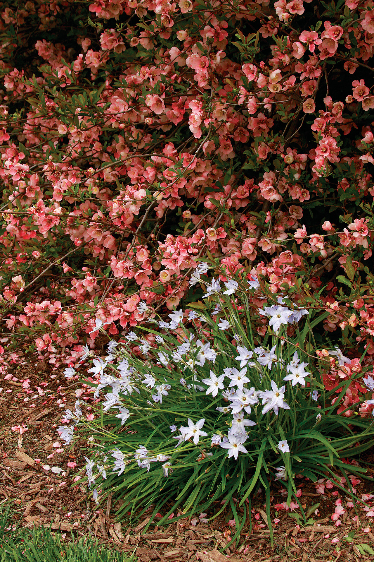 Spring starflower - white star-like flowers