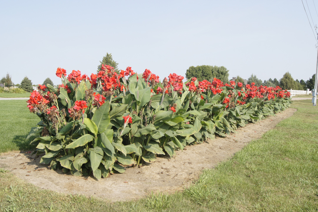 row of cannas