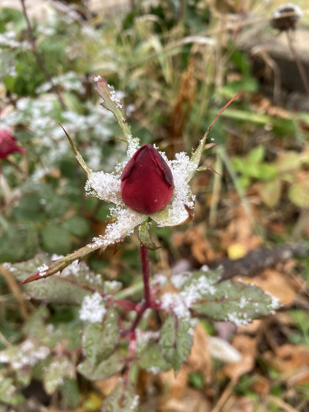 rose bud covered in snow