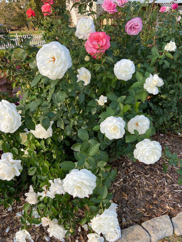 tea rose Full Sail