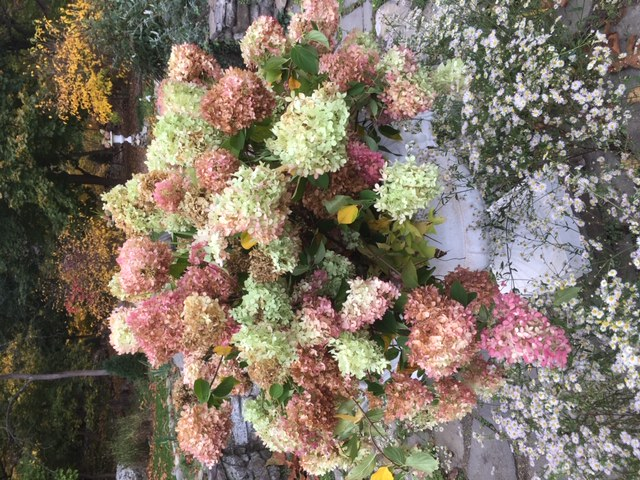 wild asters with hydrangeas