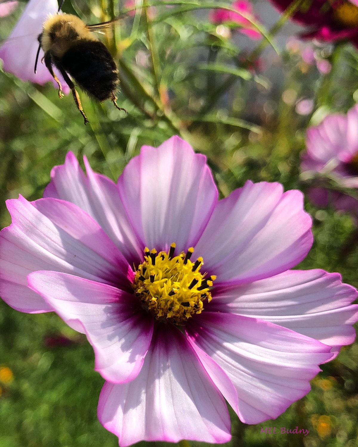 purple and white cosmos