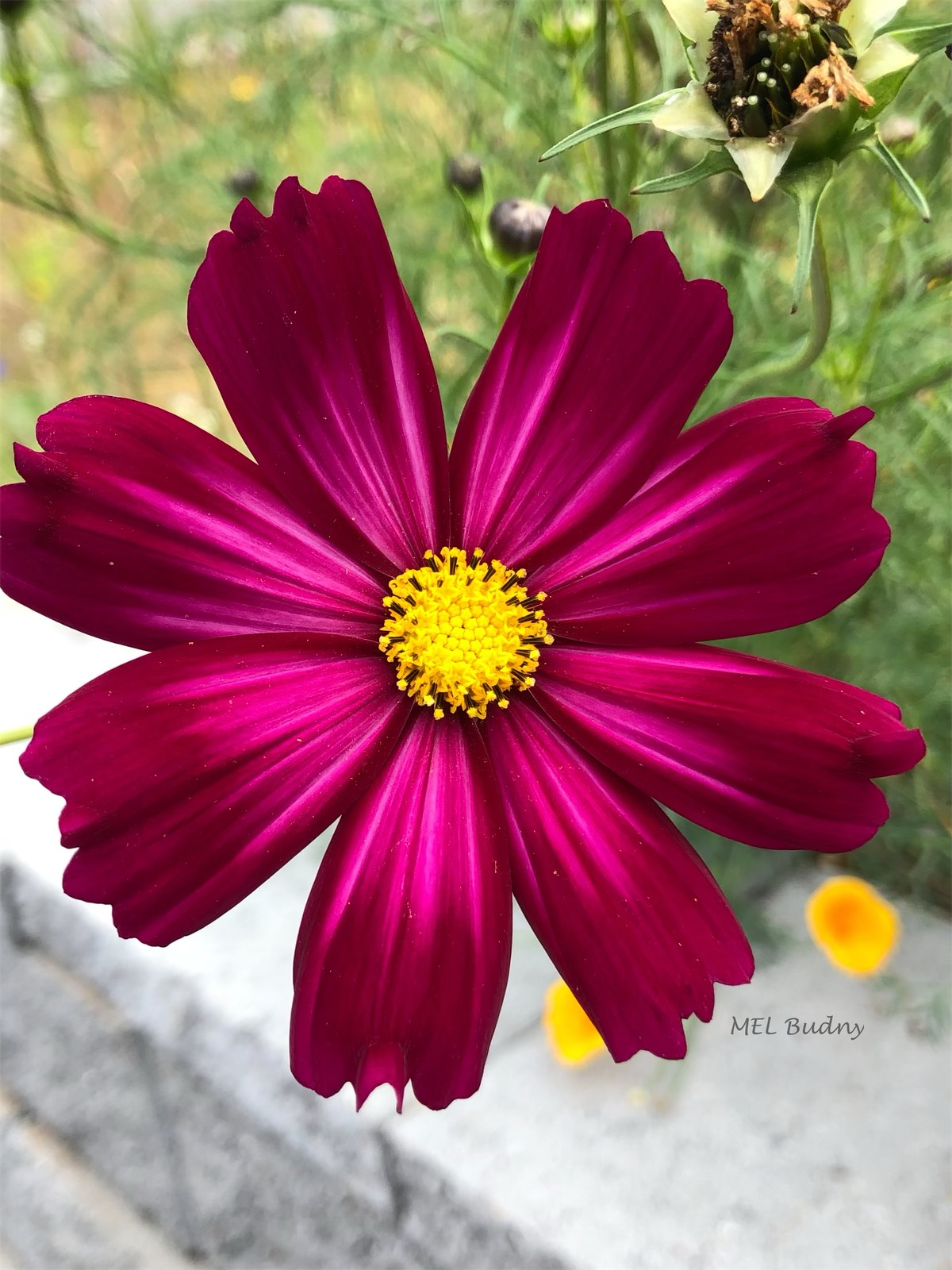 dark red cosmos