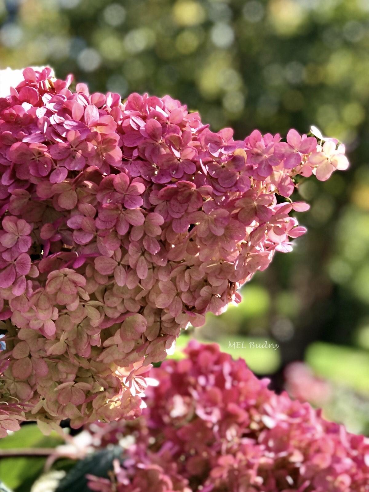 pink panicle hydrangea