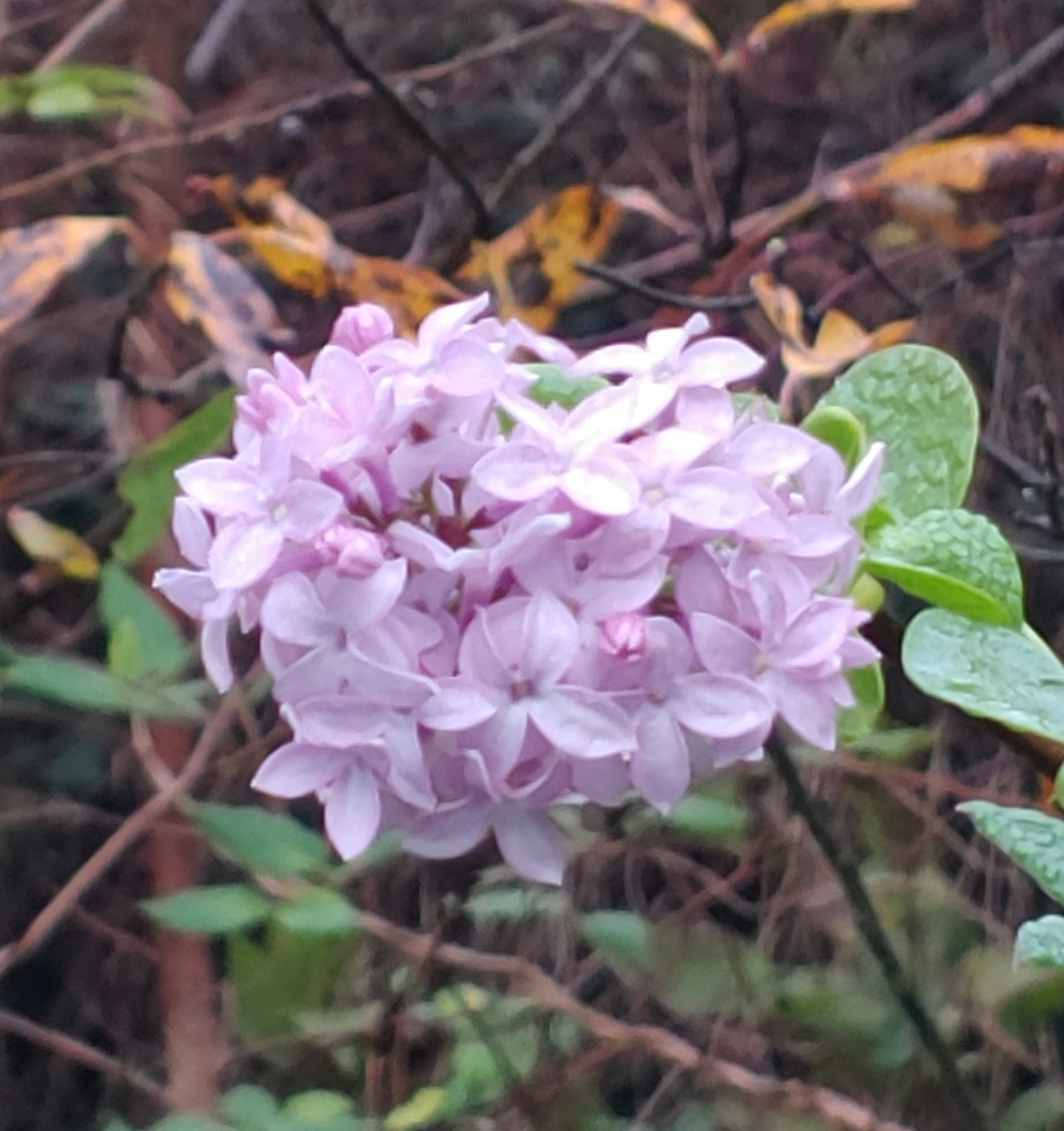 lilac in the fall