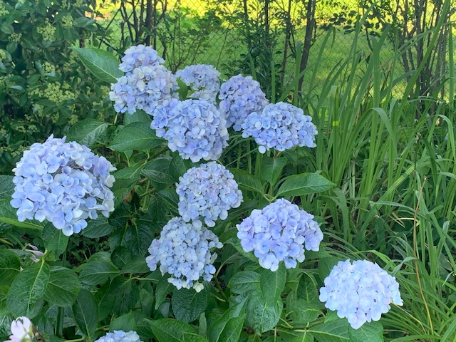 Celebrating the Beauty of Hydrangeas