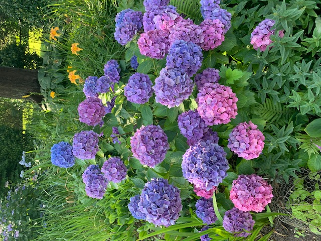 multi-colored hydrangea