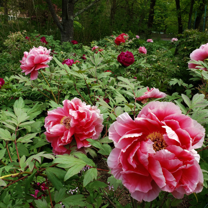 Tree Peonies and Other Beauties