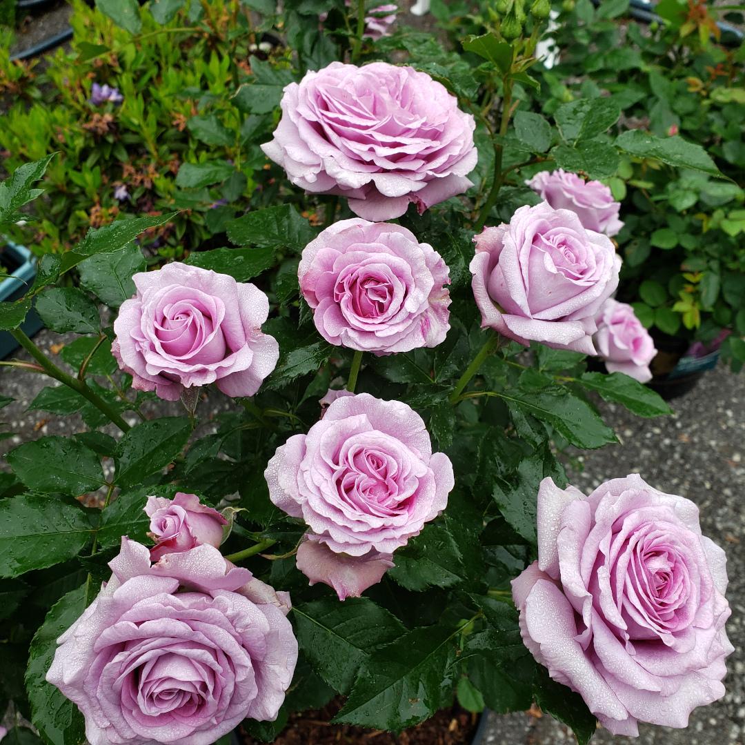 Rose Violet's Pride