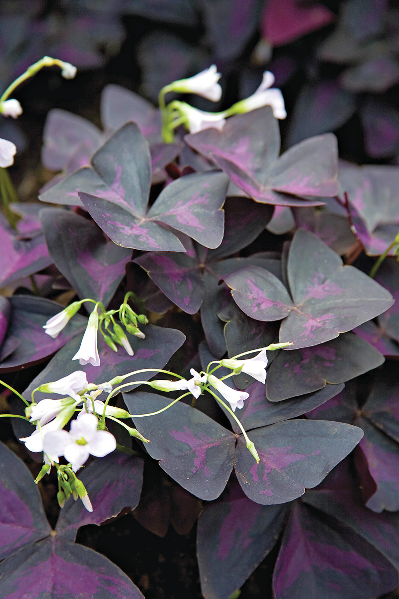Close up of Purple shamrock