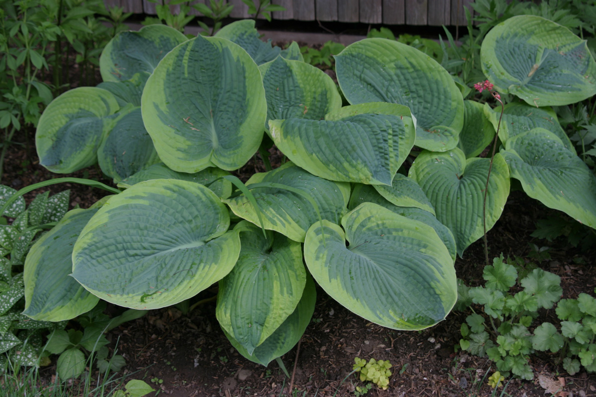 'Frances Williams' hosta